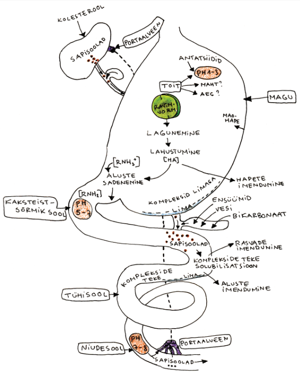 Joonis: Ravimvormi lagunemist ning toimeaine lahustumist ja imendumist mõjutavad tegurid seedetraktis