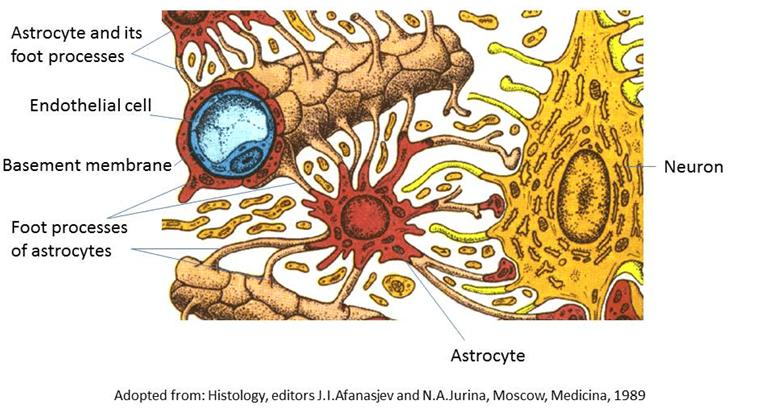 The Blood Brain Barrier Morphology Of Nervous System