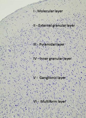 The cerebral cortex | Morphology of Nervous System