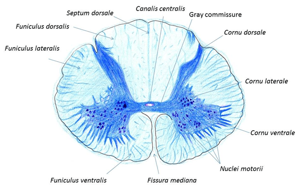 Spinal cord of a parts Spinal Cord