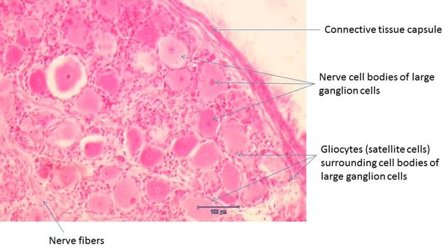 Ganglia Morphology Of Nervous System